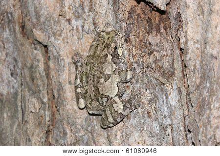 Gray Tree Frog Camouflaged Against Tree Bark