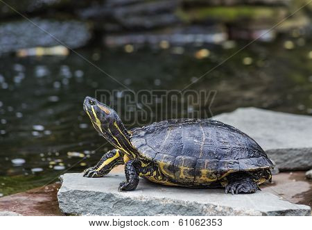 Western Painted Turtle (chrysemys Picta)