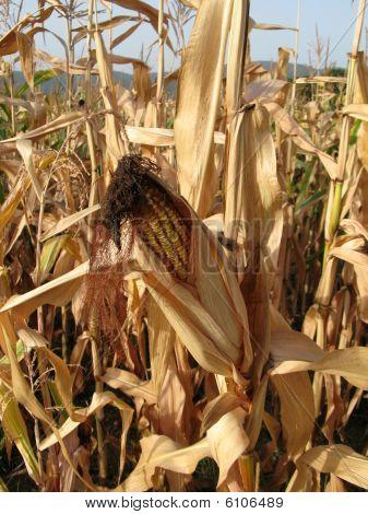 Corn Still In Field