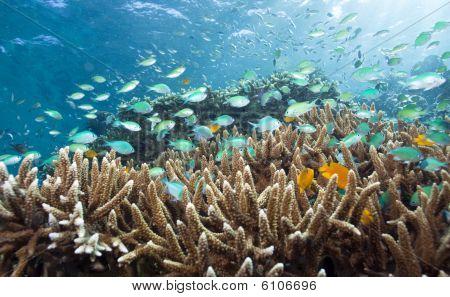 Blue-green Chromis schooling above finger corals underwater menjangan island poster