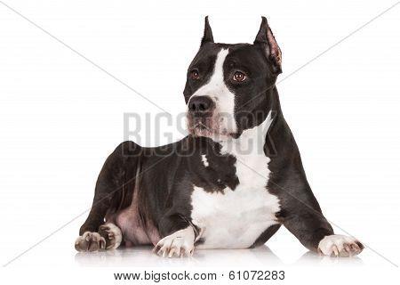 black american staffordshire terrier dog