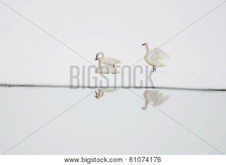 Tundra Swans on Winter Lake