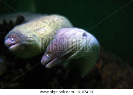 Anguila Moray