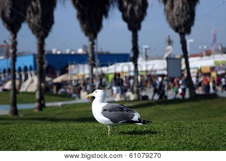 A Seagull Standing On A Grassy Lawn In Venice Beach