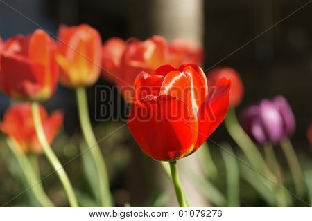 A Red Tulip Amongst Anothers In Selective Focus