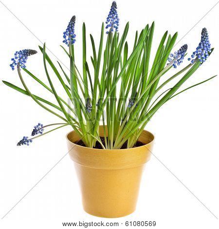 Blue Spring Grape muscari hyacinth in flowerpot Isolated on white background