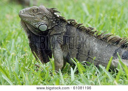 Green Iguana, typical animal of Aruba, ABC Islands poster