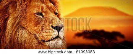 Lion portrait on savanna landscape background and Mount Kilimanjaro at sunset. Panoramic version