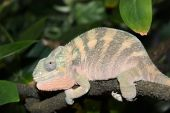 Close up of a female panther chameleon resting on a vine. poster