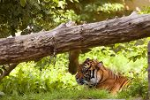 Tiger resting in a clearing, in the grass. poster