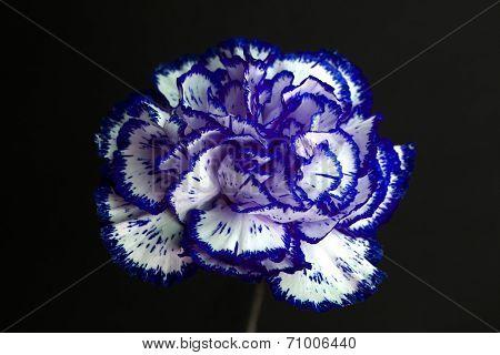 Carnation