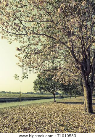 Beautiful view of pink trumpet or tabebuia blossom in retro style color poster