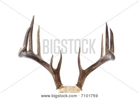 Large whitetail buck antlers isolated on white background front view