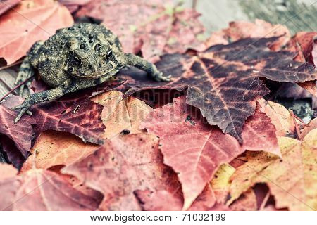 Toad Amongst Fall Leaves - Retro, Faded