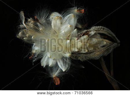 Open milkweed pod against black