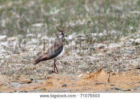 Northern Lapwing On Ground