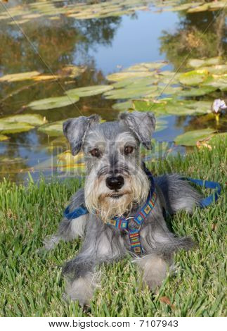 Miniature Schnauzer Dog Lays In Front Of Pond