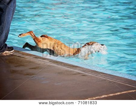 a dog having fun at a local public pool  poster