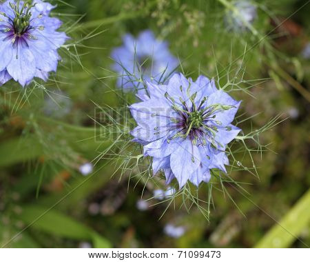 Nigella, Love In The Mist