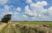 Small hiking path between meadows an sheep on the isle of Texel. poster