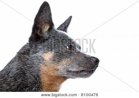 Australian Cattle dog (kelpie)