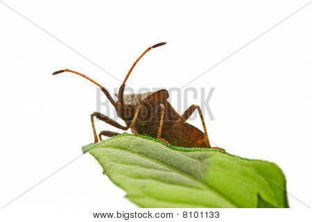 Stinkbug On The Green Leaf