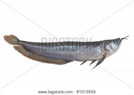 Arowana Fish (osteoglossum Biccirhosum) Isolated On White