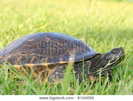 Turtle In The Yard