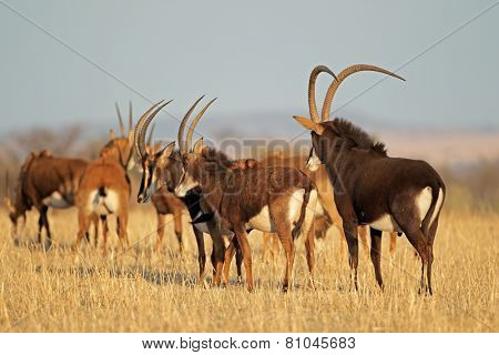 Small herd of sable antelopes (Hippotragus niger), South Africa