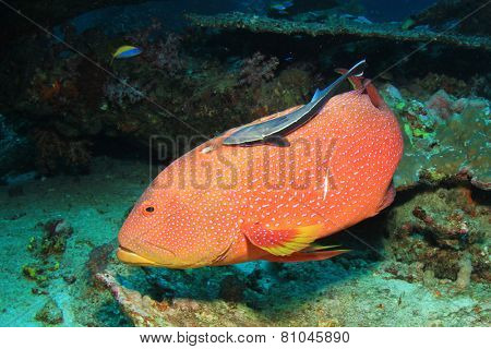 Lyretail Grouper fish with Remora
