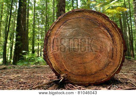 Redwoods In Rotorua New Zealand