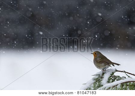 european robin under the snow, winter in Vosges mountains, France