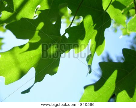 Shadows of a Maple