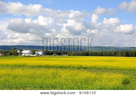 Historic Alaska Farm in Summer with bloom canola flowers