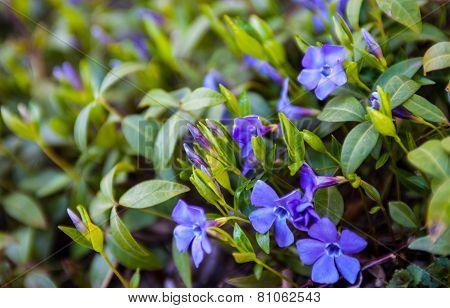 Blue Vinca Flowers And Green Vinca Leaves