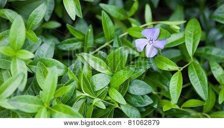 Blue Vinca Flower And Green Vinca Leaves