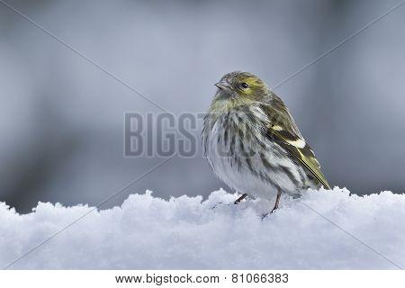eurasian siskin in the snow, France