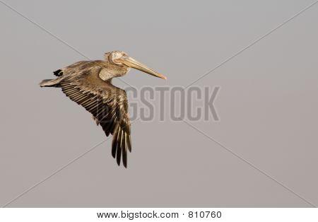 Brown Pelican in Flight 3