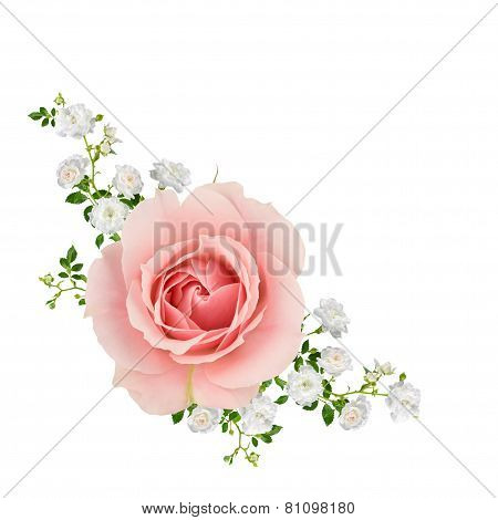 Pink And White Roses Isolated on white