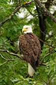 Wild Adult Bald Eagle Perched in Tree (Profile) poster