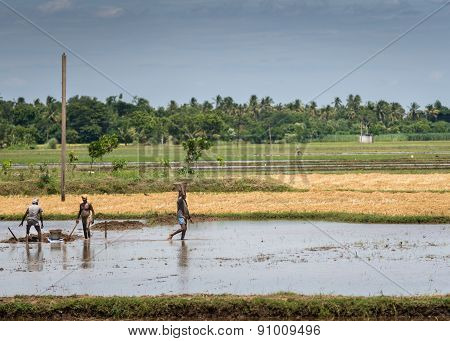 Three Men Work A Submerged Rice Paddy.