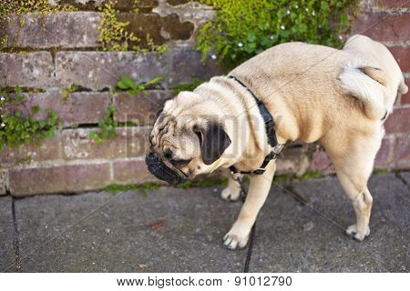 Male pug dog is pissing on the wall