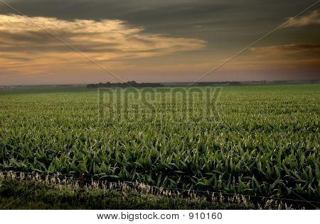 Dakota Corn