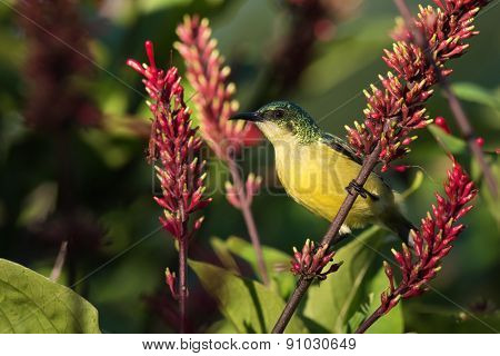 Collared Sunbird (hedydipna Collaris) Female Perched Amongst Flowers