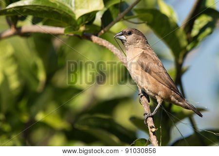 Juvenile Bronze Mannikin (lonchura Cucullata) Bringing Grass Back For Nest Building