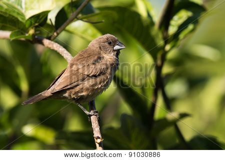 Juvenile Bronze Mannikin (lonchura Cucullata) On A Perch