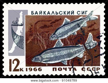 Vintage  Postage Stamp.  Baykal Whitefish.