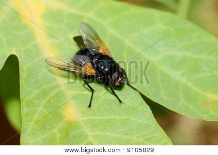 Black Fly On A Leaf