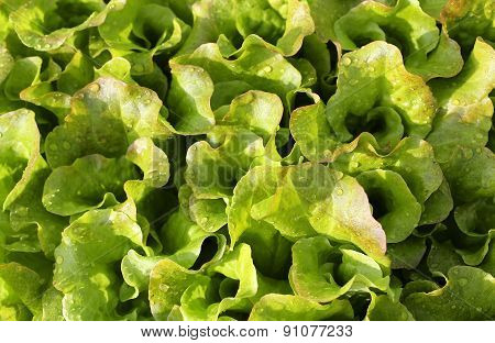 Fresh Salad Background Just Watered