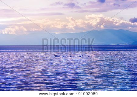 Swans On Water At Sunset Lighting